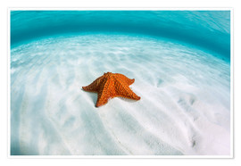 Premium poster  A West Indian starfish on the seafloor in Turneffe Atoll, Belize. - Ethan Daniels