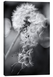 Canvas  Dandelion lost his seeds - Julia Delgado