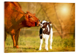 Acrylic print  Cow and calf in the pasture - Monika Leirich