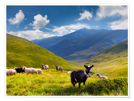 Premium poster  Herd of sheep and goats in the mountains
