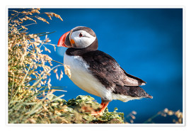 Premium poster Puffin on Iceland