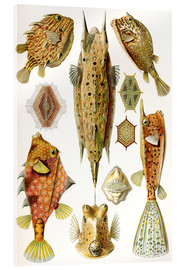 Acrylic print  Ostraciontes cowfish species - Ernst Haeckel
