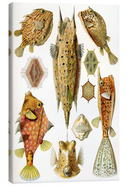 Canvas print  Ostraciontes cowfish species - Ernst Haeckel
