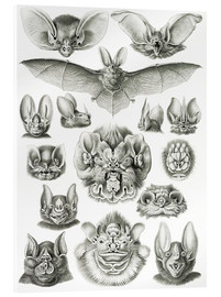 Acrylic print  Bats (Forms of nature, graphic 67) - Ernst Haeckel