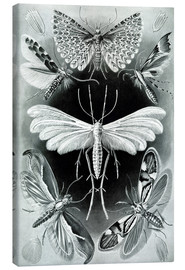 Canvas  Chart of moths - Ernst Haeckel