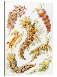 Aluminium print  Nudibranches, artistic forms of nature, design 43. - Ernst Haeckel
