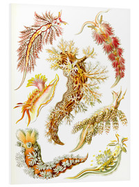 Foam board print  Nudibranches, artistic forms of nature, design 43. - Ernst Haeckel
