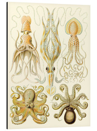 Aluminium print  Squid and octopi - Ernst Haeckel