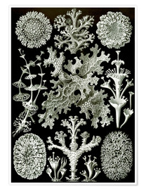 Premium poster  Lichens, Art Forms of Nature, Graphic 83 - Ernst Haeckel