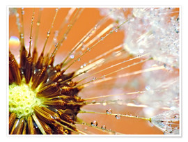 Premium poster Dandelion orange light II
