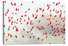 Canvas print  Scarlet ibis (Eudocimus ruber) flock in flight
