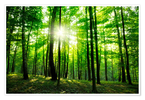 Premium poster Sunlight in the green forest, spring time