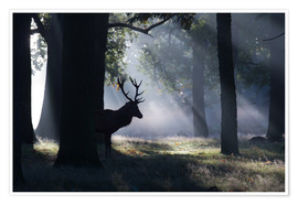 Premium poster Stag in the morning light