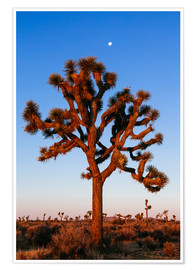 Premium poster  Joshua tree, Joshua tree national park, California, USA - Matteo Colombo