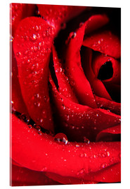 Acrylic print  Red rose with water drops