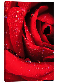 Canvas print  Red rose with water drops