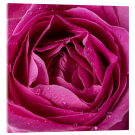 Acrylic glass  Pink rose with water drops
