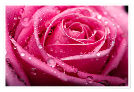 Premium poster  Pink Rose with dewdrops