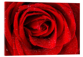 Acrylic print  Red rose with drops of water