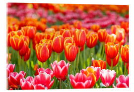 Acrylic print  Colorful tulips field