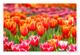 Premium poster Colorful tulips field