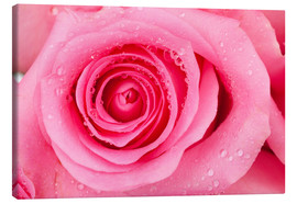 Canvas  Pink rose blossom with dew