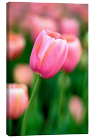 Canvas print  Single pink tulip