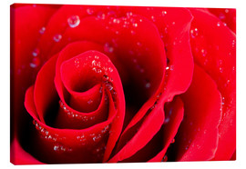 Canvas print  Red rose bloom with dew drops