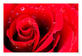 Premium poster  Red rose bloom with dew drops
