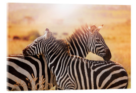 Acrylic print  Zebra with its foal, Kenya