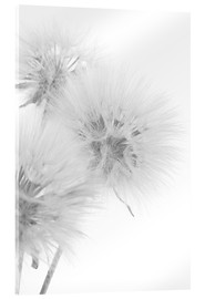 Acrylic print  Fluffy dandelions on white background
