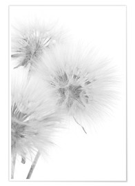 Poster  Fluffy dandelions on white background