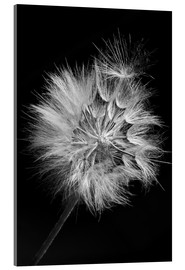 Acrylic print  Dandelion on black background