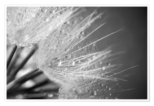 Premium poster Dandelion with water drops