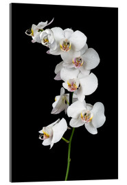 Acrylic glass  White orchid on a black background
