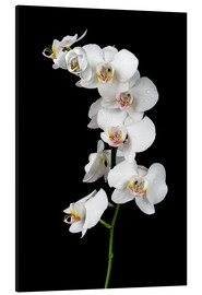 Aluminium print  White orchid on a black background