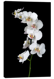 Canvas  White orchid on a black background
