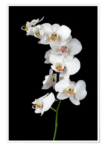 Premium poster White orchid on a black background