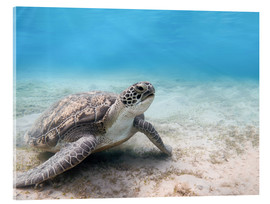Acrylic print  Green sea turtle