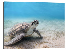 Aluminium print  Green sea turtle