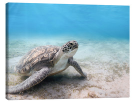 Canvas print  Green sea turtle