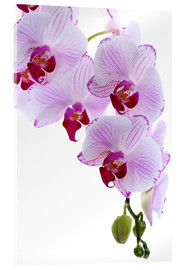 Acrylic print  Orchid branch