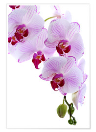 Premium poster  Orchid branch