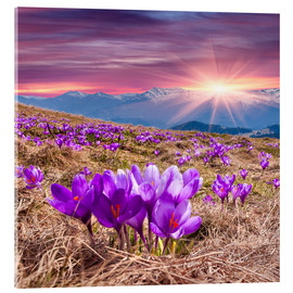 Acrylic print  Crocuses in spring in the mountains