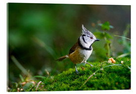 Acrylic print  Cute tit standing on the forest ground - Peter Wey