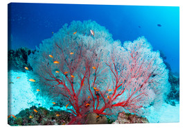 Canvas print  Melithaea sea fan and lyretail anthias