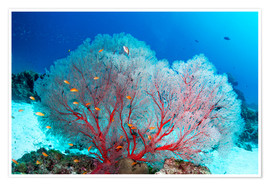 Premium poster  Melithaea sea fan and lyretail anthias