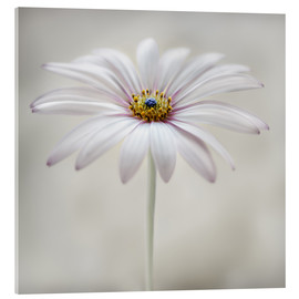 Acrylic print  Cape daisy - Mandy Disher