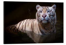 Acrylic glass  Tiger bathing