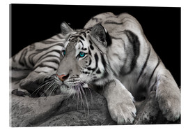 Acrylic glass  Curious Tiger